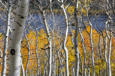 Aspen trees in above Fish Lake. Fishlake National Forest, Utah, USA by Scott T. Smith