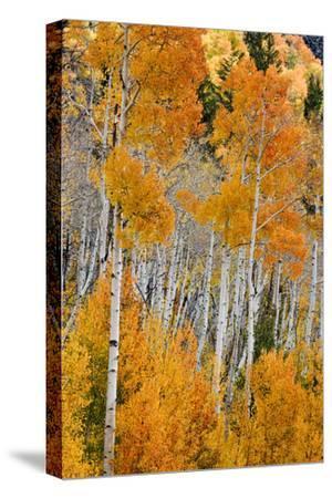 Aspen trees in autumn. Fishlake National Forest, Utah, USA
