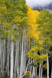 Aspens (Populus Tremuloides), Autumn, Sevier Plateau, Utah, USA by Scott T. Smith