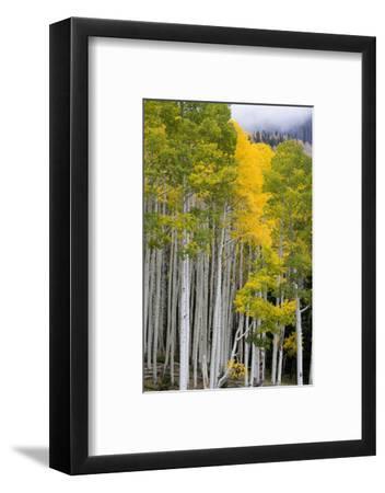 Aspens (Populus Tremuloides), Autumn, Sevier Plateau, Utah, USA