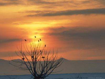 Bald Eagles in Willow Tree at Layton Marshes, Great Salt Lake, Utah, USA