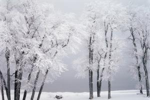 Beach, Hoar Frost on Cottonwoods During Winter, Bear Lake, Rendezvous, Utah, USA by Scott T. Smith