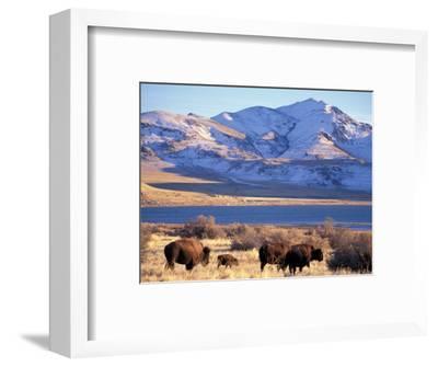 Bison above Great Salt Lake, Antelope Island State Park, Utah, USA
