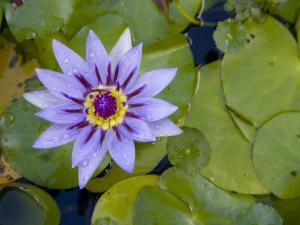 Blue Water Lily, Jardin De Balata, Martinique, French Antilles, West Indies by Scott T. Smith