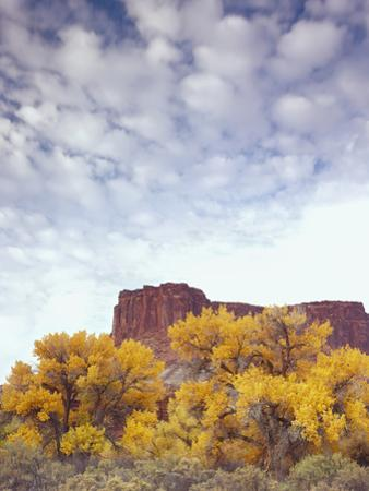 Canyonlands NP, Utah. Cottonwoods in Autumn Below Cliffs and Clouds