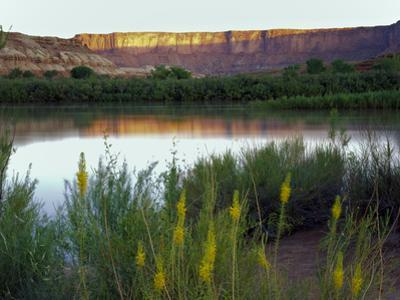 Canyonlands NP, Utah. Prince's Plume in Bloom Along Green River, Dawn