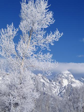 Cottonwood Tree in Winter, Grand Teton National Park in Morning, Wyoming, USA