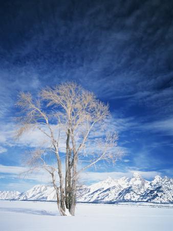 Cottonwood Tree in Winter, Wyoming, USA