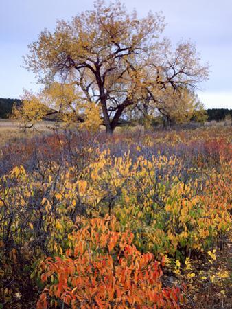Custer SP, South Dakota. Riparian Vegetation in Autumn. Black Hills