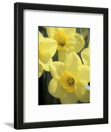 Daffodils, Cache Valley, Utah, USA