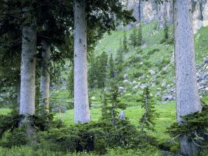 Engelmann Spruce Trees, Wasatch-Cache National Forest, Utah, USA by Scott T^ Smith