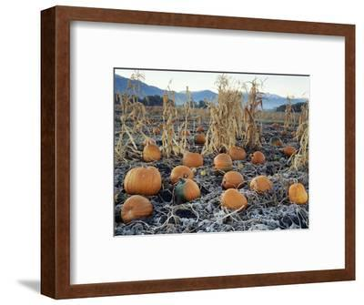 Fall Vegetables in Frosty Field, Great Basin, Cache Valley, Utah, USA