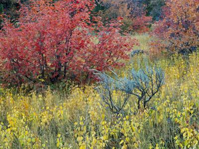 Forest Vegetation in Fall. Green Canyon. Uinta-Wasatch-Cache NF, Utah