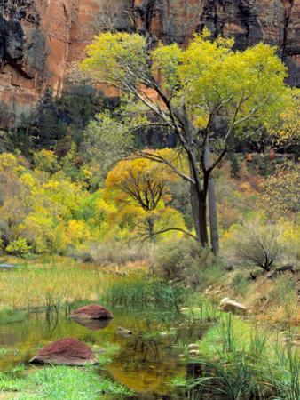 Fremont Cottonwoods, Zion National Park, Utah, USA