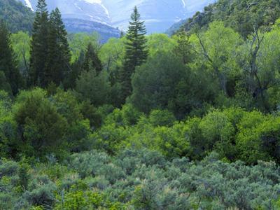 Goshute Canyon, Nevada. Riparian Vegetation in Canyon of Goshute Creek