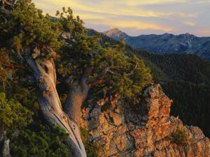 Limber Pine and Limestone Cliff, Bear River Range, Mount Naomi Wilderness, Utah by Scott T. Smith
