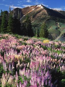 Lupines and Alpine Fir, Snowcapped Mountain, Jarbidge, Jarbidge Wilderness, Nevada, USA by Scott T. Smith
