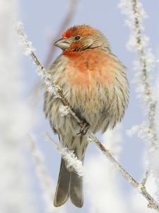 Male house finch on hoarfrost-covered tree in winter by Scott T^ Smith
