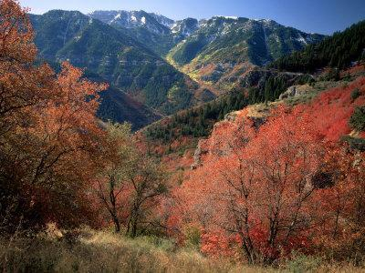 Maples on Slopes above Logan Canyon, Bear River Range, Wasatch-Cache National Forest, Utah, USA