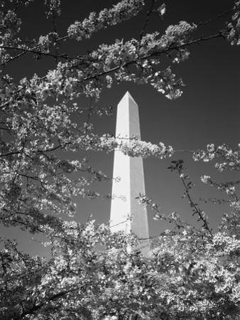 Monument with Cherry Blossom in Foreground, Washington DC, USA