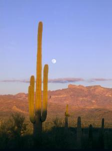 Moonrise Over Saguaro Cactus and Ajo Mountains, Organ Pipe National Monument, Arizona, USA by Scott T. Smith