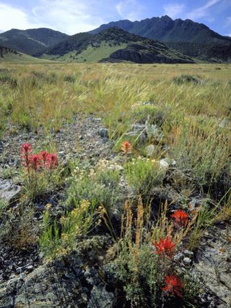 Nevada. Usa. Paintbrush and Grasses Below Goshute Mountains