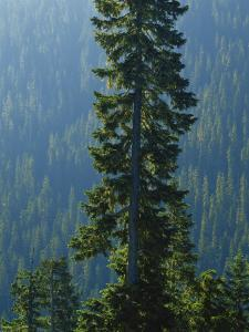 Old-Growth Forest Above Chinook Creek, Mount Rainier National Park, Washington, USA by Scott T. Smith