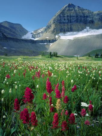 Paintbrush in Uinta National Forest, Wasatch Mountains, Mount Timpanogos Wilderness, Utah, USA by Scott T. Smith