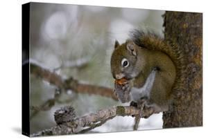Red squirrel eating pine cones, Harriman SP, Idaho, USA by Scott T^ Smith