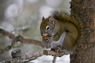 Red squirrel eating pine cones, Harriman SP, Idaho, USA