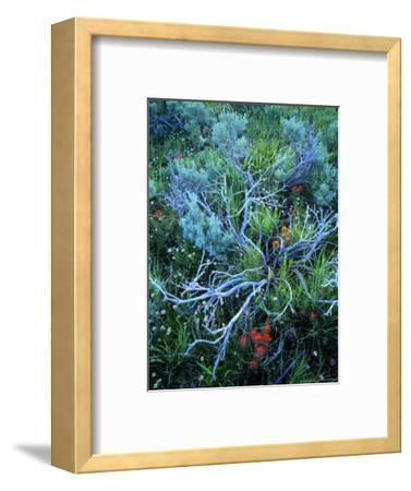 Sagebrush, Paintbrush, and Daisies, Sevier Plateau, Fishlake National Forest, Utah, USA