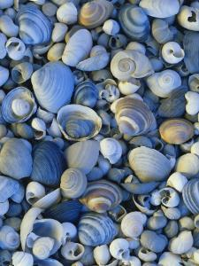 Shells of Freshwater Snails and Clams on Shore of Bear Lake, Utah, USA by Scott T^ Smith