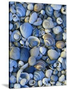 Shells of Freshwater Snails and Clams on Shore of Bear Lake, Utah, USA by Scott T. Smith