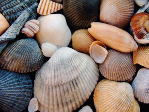 Shells on Edisto Beach, Edisto Beach State Park, South Carolina, USA by Scott T. Smith