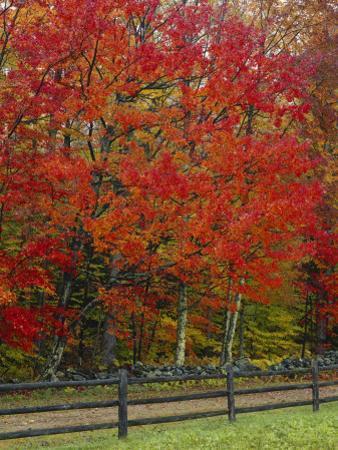 Sugar Maple in Autumn, Twin Ponds Farm, West River Valley, Vermont, USA