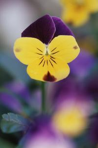 USA, Utah, Close Up of Viola Tricolor in Garden by Scott T. Smith