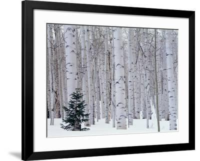 USA, Utah, La Sal Mountains, Manti-Lasal National Forest, Aspen and Douglas Fir in Winter