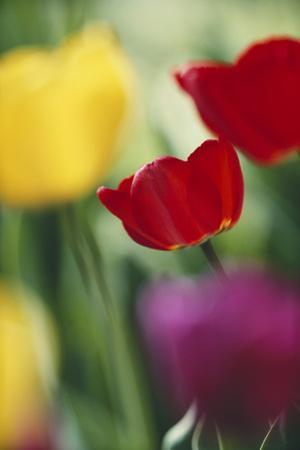 USA, Utah, View of Tulips Garden in Cache Valley