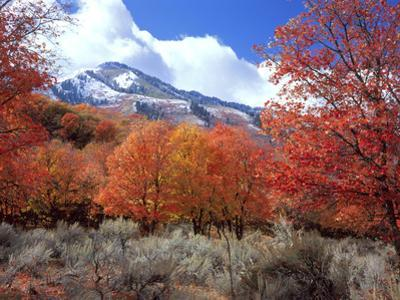 Utah. Bigtooth Maple Trees in Autumn in the Wellsville Mountains