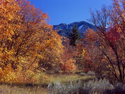 Utah. Bigtooth Maples in Autumn Below Logan Peak. Uinta-Wasatch-Cache