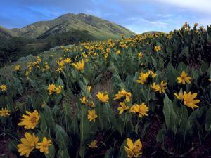 Utah. Mule's Ears in Bloom in Foothills of Oquirrh Mountains by Scott T. Smith