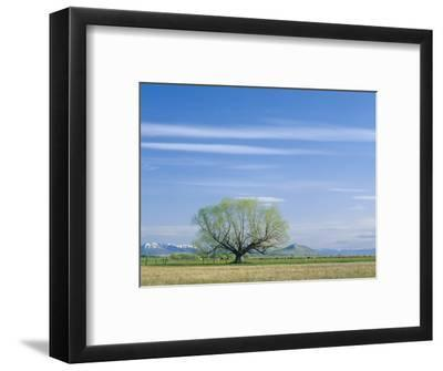 Utah. USA. Willow Tree and Cirrus Clouds in Spring. Cache Valley
