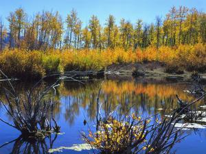 Utah. USA. Willows and Aspens in Autumn at Beaver Pond in Logan Canyon by Scott T. Smith