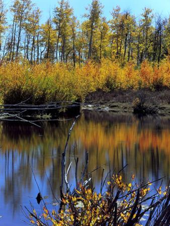 Utah. USA. Willows and Aspens in Autumn at Beaver Pond in Logan Canyon