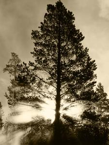 View of Sunbeam Through Trees, Yellowstone National Park, Wyoming, USA by Scott T. Smith