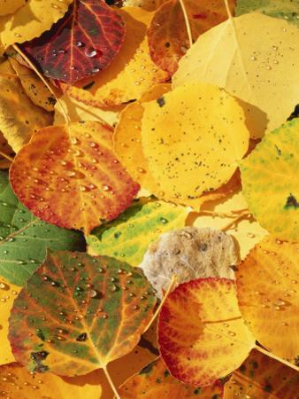 Wet Aspen Leaves in Autumn, Gunnison National Forest, Colorado, USA by Scott T. Smith