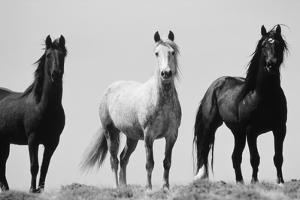 Wild Stallion Horses, Alkali Creek, Cyclone Rim, Continental Divide, Wyoming, USA by Scott T^ Smith