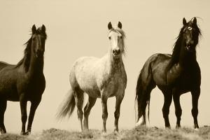 Wild Stallion Horses, Alkali Creek, Cyclone Rim, Continental Divide, Wyoming, USA by Scott T. Smith