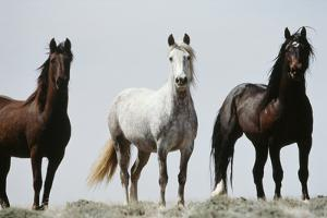 Wild Stallion Horses, Alkali Creek, Cyclone Rim, Continental Divide, Wyoming, USA by Scott T. Smith