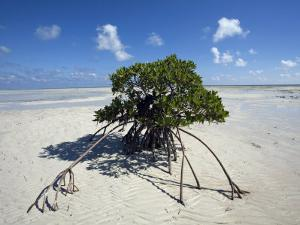 Lone Mangrove Tree on a Sand Spit at Andros Island by Scott Warren